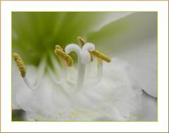 Amaryllis Belladonna (Hippeastrum)