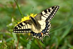(paola.bottoni) Tags: butterfly natura animali farfalle