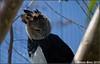 Aguila Arpia (Harpia harpyja) (DS Chino) Tags: bird canon eos miami ave 7d pajaro febrero 2010 aguila metrozoo miamimetrozoo arpia harpia harpiaharpyja harpyja aguilaarpia canoneos7d dannysoto febrero2010 aguilaarpiaharpiaharpyja