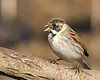 Reed Bunting with Elevenses (Andrew Haynes Wildlife Images) Tags: bird nature wildlife seed coventry warwickshire reedbunting brandonmarsh canon7d ajh2008