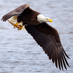 Adult Bald Eagle with a fish (Todd Ryburn) Tags: nature water birds animal animals river flickr eagle wildlife baldeagle iowa raptor mississippiriver eagles raptors 2010 baldeagles lockdam14