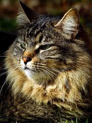 Tiger's A Deep Thinker (joecrowaz) Tags: arizona cats pets phoenix animals olympus 300mm zuiko soe e500 naturesfinest coth greatphotographers supershot bej bestofcats kittyschoice goldstaraward rubyphotographer boc0310