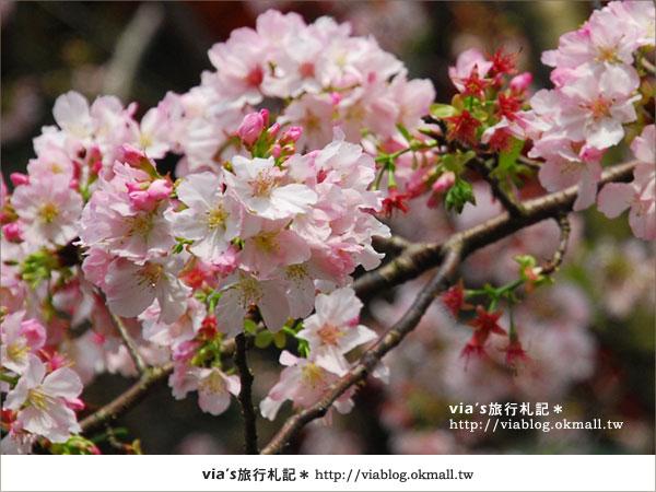 【淡水天元宮櫻花】跟著via賞花趣~天元宮櫻花最新花況