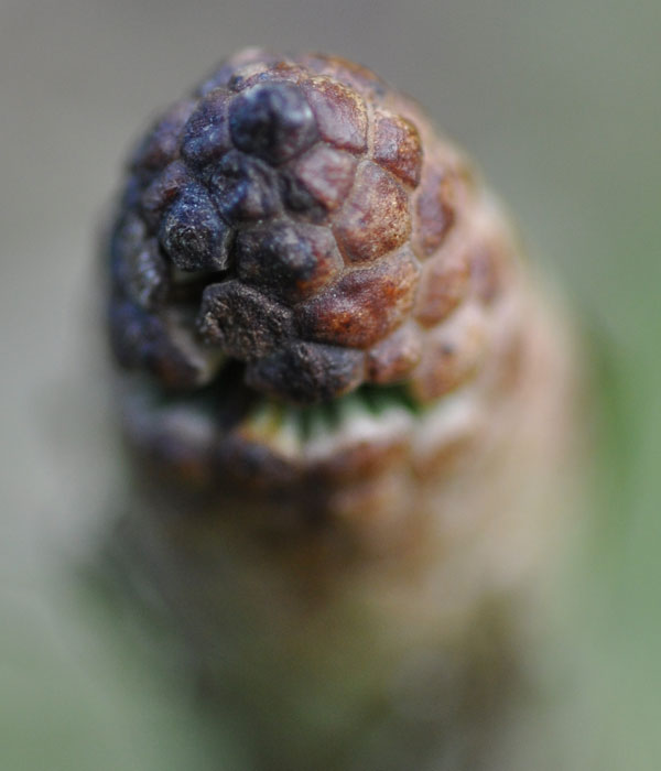 A field horsetail