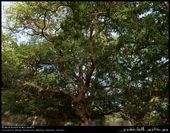 Tamarind Forest in Wadi Shaboon, Dhofar (Shanfari.net) Tags: winter summer nature lumix raw natural panasonic fabaceae oman wadi fz tamarind  zufar rw2 indica salalah sultanate dhofar shabon  tamarindus  khareef   mirbat     tamarindusindica      governate  shaboon   dofar fz38 marbat  fz35 dmcfz35