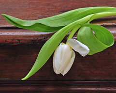The Diva (njk1951) Tags: tulip drama diva flair woodtable springday whitetulip mywinners