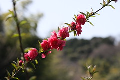 円海山ふれあいの小径のモモ(Peach at Road of Mt.Enkaisan Fureai, Japan)