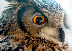 Eagel owl (floridapfe) Tags: eye animal nikon korea owl everland  eagleowl mywinners