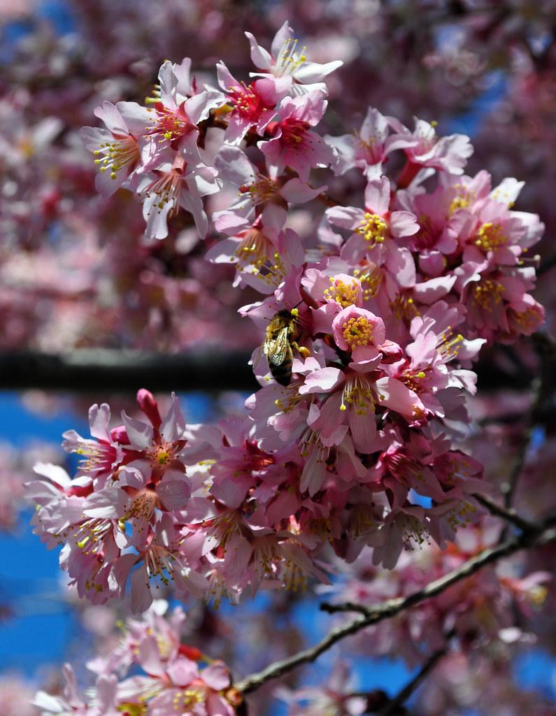 Prunus x incamp 'Okame' 4