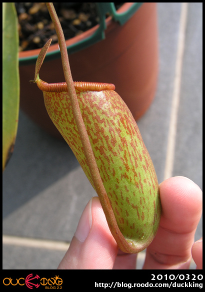 Nepenthes unknown