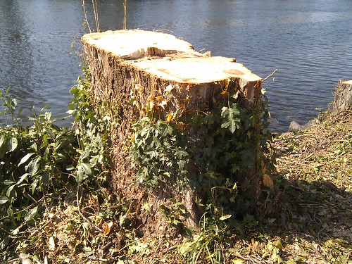 what happened to the ship canal trees?