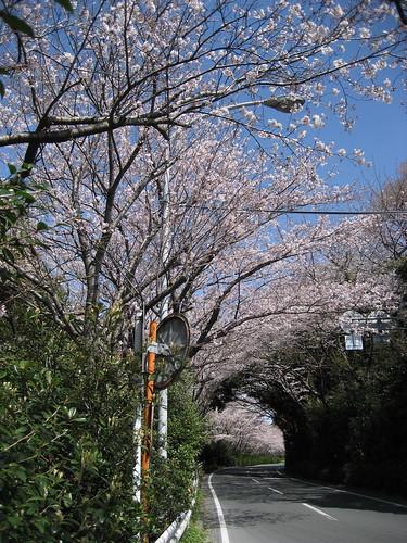 佐鳴湖の桜のトンネル(その1)