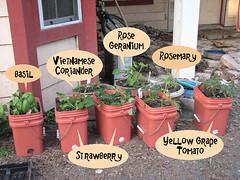 garden tomato strawberry rosemary basil recycle cilantro cinnamonbasil rosegeranium leahernandez yellowgrapetomato veitnamesecoriander