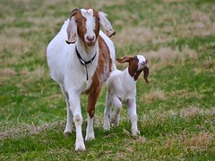 I AM WALKING WITH MY MOMMY! (rakkasan69) Tags: baby canon walking happy kid with little sweet mommy goat pride tony babcock fella xsi admiration