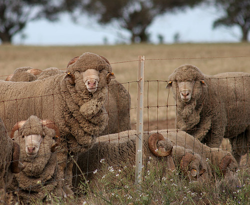 Sheep in Western Australia