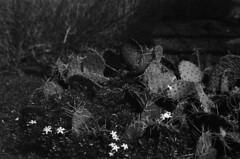 iso80 (wonderwolfpack) Tags: cactus bw ir 50mm arboretum infrared efke nikonem iso80 ir820