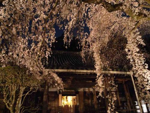 専称寺(夜桜)@香芝市-10