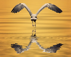 See Ya Later (dog ma) Tags: blue dog reflection bird heron nature water photoshop ma nikon bravo great sigma floodeffect impressedbeauty d700 avianexcellence 150500mm thepinnaclehof kanchenjungachallengewinner tphofweek40