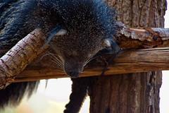 Napping Bearcat (aeschylus18917) Tags: nature thailand zoo nikon nap sleep wildlife chiangmai txt edit pxt bearcat binturong asianbearcat arctictisbinturong 80400mm carnivora 80400mmf4556dvr chiangmaizoo   prehensiletail viverridae d700 80400mmf4556vr arctictis  ratchaanachakthai nikond700 paradoxurinae danielruyle aeschylus18917 danruyle druyle