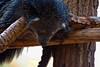 Napping Bearcat (aeschylus18917) Tags: danielruyle aeschylus18917 danruyle druyle ダニエルルール ダニエル ルール thailand ราชอาณาจักรไทย ratchaanachakthai nikon d700 nikond700 80400mmf4556dvr zoo chiangmaizoo chiangmai เชียงใหม่ prehensiletail nature wildlife binturong bearcat asianbearcat carnivora viverridae paradoxurinae arctictis arctictisbinturong nap sleep 80400mmf4556vr 80400mm pxt