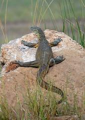 Monitor Lizard, South Luangwa, Zambia