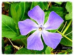 Jerez de los Caballeros (Badajoz) flor (ferlomu) Tags: badajoz ferlomu jerezdeloscaballeros flor vincamenor vincapervinca hierbadeladoncella flower