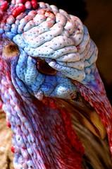 What Wrinkles? (Pixelblender) Tags: blue red white ontario male eye tom turkey head farm sarnia childrens wrinkles canatara pentaxk20d pentaxk20