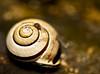 Home, sweet home (Jordi Maggi) Tags: macro gold shell snail snailshell mywinners abigfave anawesomeshot