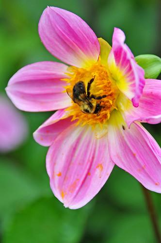 DSC_5959 - Busy Bee