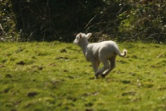 lamb traveling faster than planes in europe!