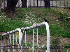 cormorant    (ddsnet) Tags: birds japan tokyo sony birding cybershot  to nippon  birdwatching nihon hanami backpackers       tky    tkyto    japan japan  hx1      birdwatchinginjapan to birdwatching birdwatching tky