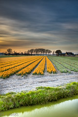 Sunrays touch the earth (Bas Lammers) Tags: sunset orange holland amsterdam yellow zonsondergang explorer perspective wideangle tulip geel paysbas 1022mm flowerfields hdr oranje keukenhof tulp lisse bulbfields perspectief hillegom groothoek nohdr canon50d bloemenvelden mygearandme mygearandmepremium mygearandmebronze mygearandmesilver mygearandmegold mygearandmeplatinum mygearandmediamond