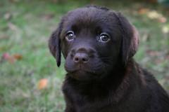 Bonnie (James Singh) Tags: dog pet puppy lab labrador chocolate chocolatelab bonnie doggy pup doggie choc chocolatelabrador