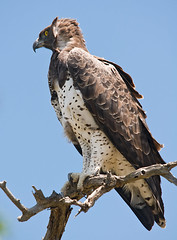 Martial Eagle (Marc_Scott-Parkin) Tags: searchthebest martialeagle polemaetusbellicosus