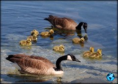 Earth Day ~ (Piscesgirl2~) Tags: blue ontario canada nature water beautiful birds geese spring babies feathers goslings earthday specanimal olympuse620