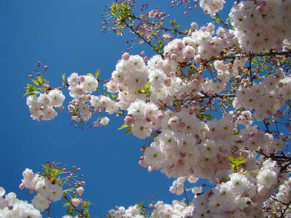 pink-tree-blossoms-art-prints-55-spring-flowers-blue-sky-landscape-<span class=