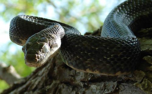 Black Snake 3