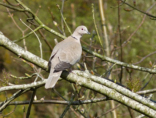 12309 - Collared Dove