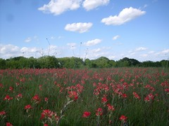 Indian Paintbrush in a Texas field