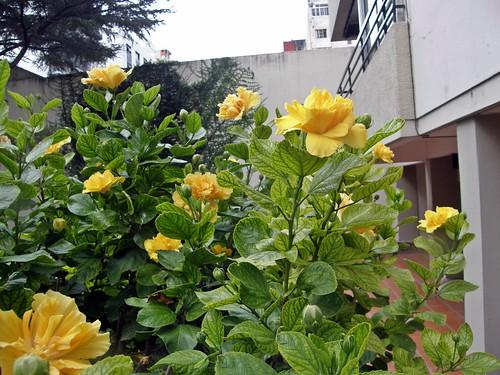 ibiscus amarillo