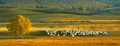0204 A shepherd and his flock--Bashang grassland , China (ngchongkin) Tags: china niceshot sheep shepherd flymetothemoon musictomyeyes favoritephotos finegold nikond200 goldheart thegalaxy beautifulshot momentsoflife avpa flickrhearts flickraward flickrbronzeaward crystalawards heartawards platinumheartawards betterthangood flickrestrellas beautifulaward thebestshot spiritofphotography qualifiedmembersonly grouptripod photographerparadise artofimages angelawards visionaryartsgallery asbeautifulasyouwant dreamsilldream bashanggrassland youandtheworld pegasusaward flickrsgottalent bestpeopleschoice mygearandme fireworksofphotos fabulousplanetevo goldstarawardlevel1 goldstarawardlevel2 ringexcellence flickrbronzetrophy photographyforrecreationgoldaward chariotsofartists photographyforrecreationemeraldaward universeofphotography photographyforrecreationsilveraward photographyforrecreationbronzeaward photographyforrecreationsapphireaward pegasussilvertrophyaward pegasusbronzetrophyaward theelitephotographer digitographer thethreeangelslevel2 pegasusgoldtrophy thethreeangelslevel1 goldentrophygroup photographyforrecreationeliteclub vivalavidalevel1 theelitephotographerlevel2 vivalavidalevel2 photographyforrecreatiodiamondaward 2011achievement flickrnatureaward auniverseofphotography