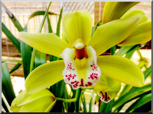 Cymbidium (tonemapped)