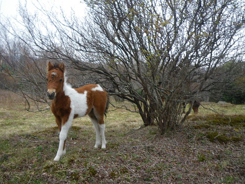 Wild pony colt