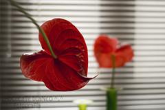 Corazones ♥ ♥ (Priscila Alonso www.facebook.com/viviridis) Tags: house flower color colour verde green grancanaria 50mm casa nikon dof heart flor canarias corazón d80 ltytr1 6retos6