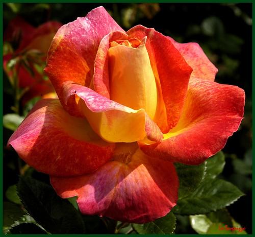 IL LINGUAGGIO DELLE ROSE .........!!!