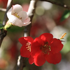 Peach / Prunus persica / ??(????)