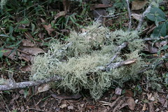 Usnea sp. (possibly Usnea baileyi)