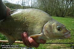 Bream - Abramis brama (puffinbytes) Tags: greatbritain england animals unitedkingdom carps bream eastsussex animalia minnows cyprinidae cypriniformes chordates chordata actinopterygii rayfinnedfishes abramis abramisbrama taxonomy:kingdom=animalia taxonomy:phylum=chordata taxonomy:class=actinopterygii taxonomy:family=cyprinidae taxonomy:order=cypriniformes leuciscinae spb:country=uk spb:lid=00ao spb:id=01f5 spb:species=abramisbrama spb:pid=0dlf spb:pty=f taxonomy:subfamily=leuciscinae taxonomy:genus=abramis taxonomy:species=brama taxonomy:binomial=abramisbrama taxonomy:common=bream