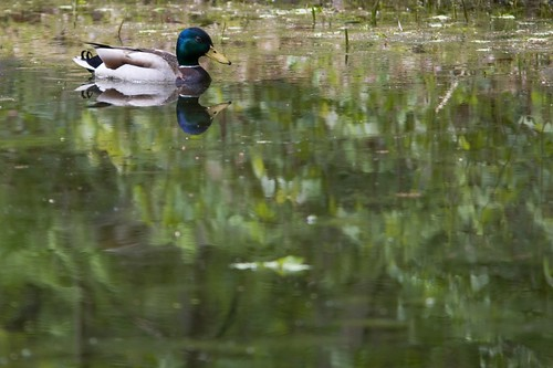 Male mallard on our pond