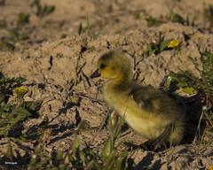 A gosling eyes a juicy dandelion (gashphoto) Tags: wild baby ontario canada bird goose dandelion gosling mississauga